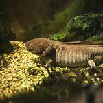 Axolotl Title