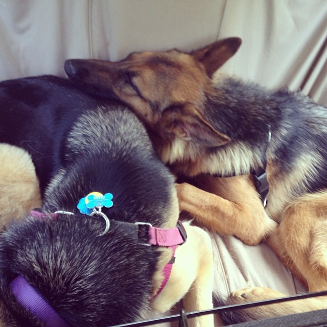 2 shepherds in a tiny car.
