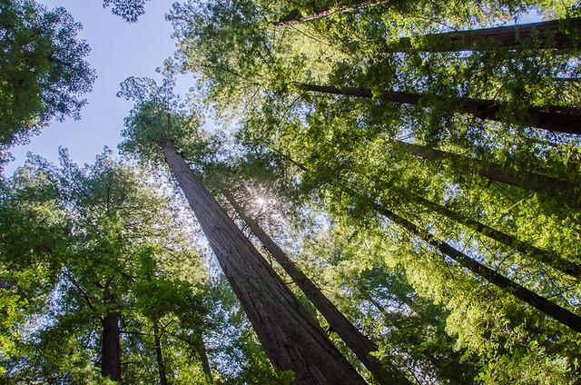 Avenue of the Giants - Humboldt Redwoods