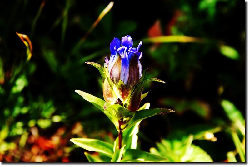 Mountain gentian(Parry gentian) 1