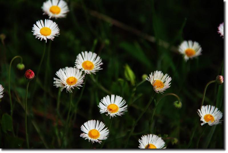 trailing daisy