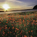 Dorset Poppies by mikeboss