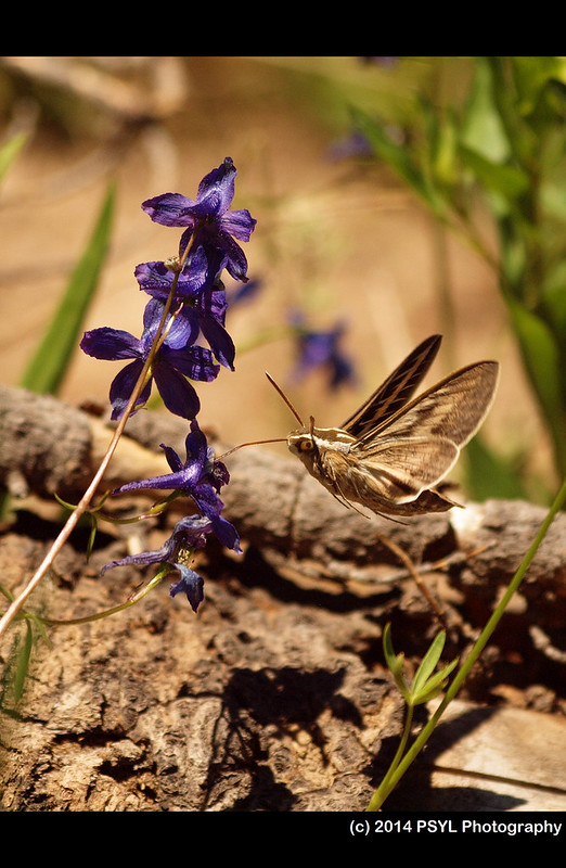 White-lined Sphinx Moth (Hyles lineata) visiting Delphinium nuttallianum