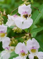 lathyrus latifolius(0.0), snapdragon(0.0), blossom(1.0), flower(1.0), plant(1.0), orchid family(1.0), lilac(1.0), macro photography(1.0), wildflower(1.0), flora(1.0), petal(1.0),