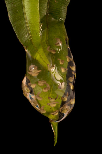 <i>Centrolene buckleyi</i> Rana de cristal altoandina de Buckley