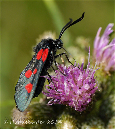 Narrow bordered 5 Spot Burnet