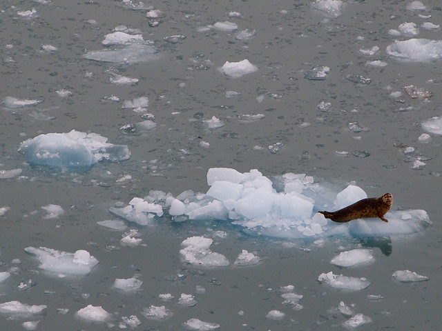 Harbor seal spotted at Hubbard Glacier in Alaska