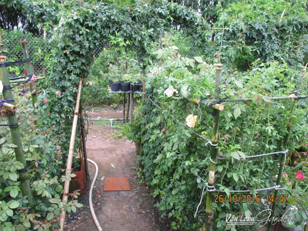Bằng cách tận dụng các thanh tre trúc sẵn có, dây bẹ đen. 1 đoạn dây cáp Internet tôi đã làm 1 cổng vòm và bức tường xanh bằng hoa hồng tầm xuân