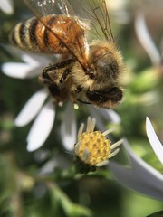 Bee Pollinating an Aster