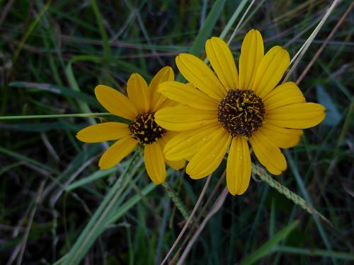 helianthusangustifolius location2 narrowleafsunflower