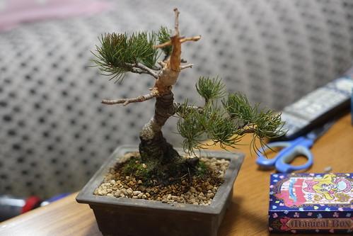五葉松の植え替え