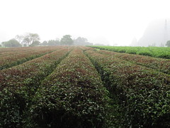 Tea bushes under the rain