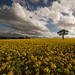 Tree in rape seed field by Paul Grand