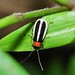 Small photo of A soldier beetle (Cantharidae)