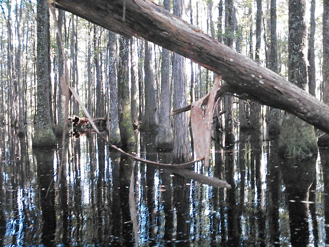 Hanging cypress bark