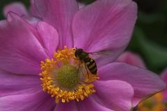 American Hover Fly, Eupeodes americanus