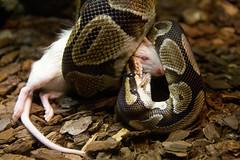 sidewinder(0.0), animal(1.0), serpent(1.0), eastern diamondback rattlesnake(1.0), snake(1.0), boa constrictor(1.0), reptile(1.0), hognose snake(1.0), fauna(1.0), viper(1.0), rattlesnake(1.0), scaled reptile(1.0), wildlife(1.0),
