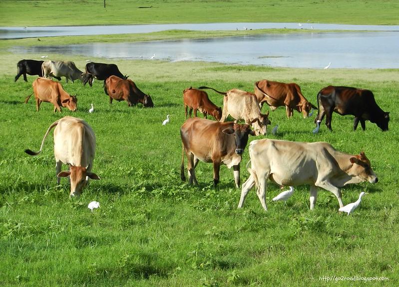 Миннерия - и коровам хватает корма)