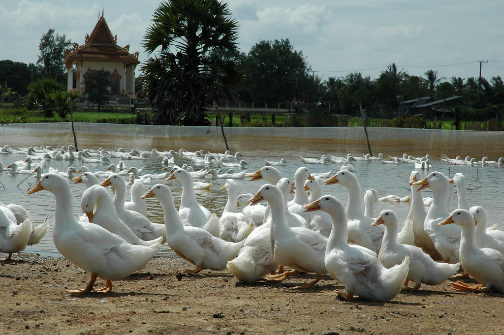 AusAID 2005; Avian Flu; Cambodia; Livestock and Poultry