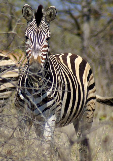 Cebra, Kruger