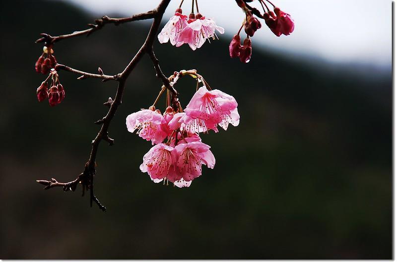 武陵花季 17