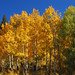 Aspen Grove in Fall