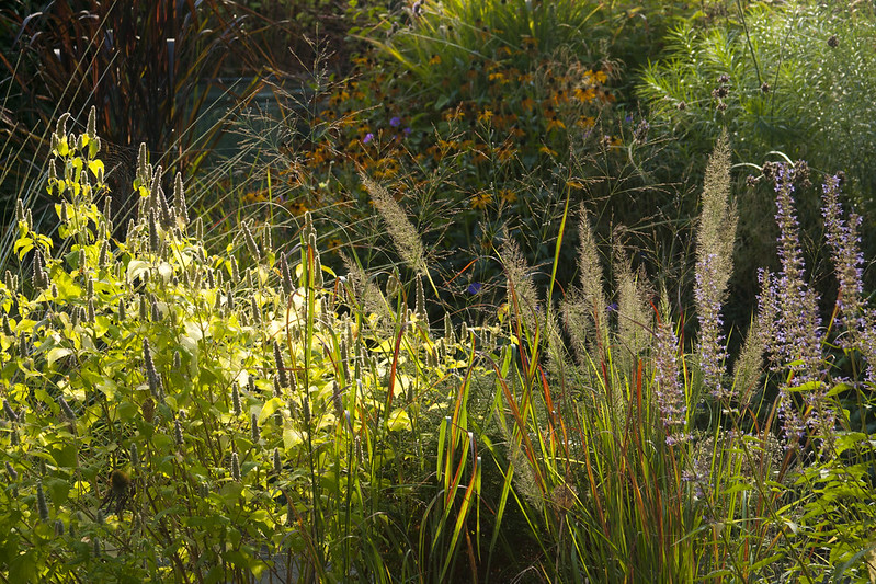 calamagrostis and panicum