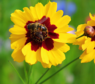 The Bee And The Yellow Flower!