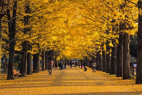 park autumn yellow japan tokyo sony ginko akishima nex nex7 dheej18 djvillanueva sonynex7