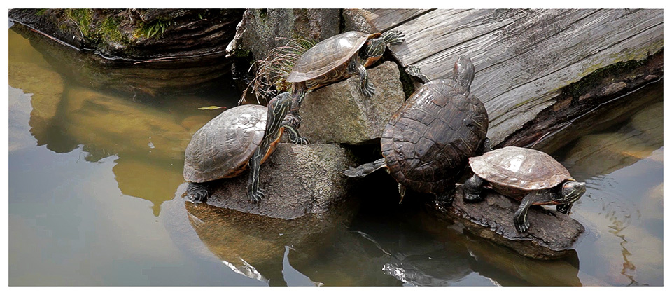 Turtles Sunbathing, Sarusawa-ike Pond, Nara - Japan