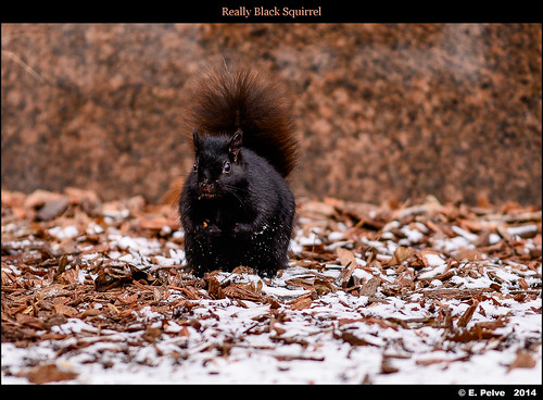 Really Black Squirrel - Zeiss APO Sonnar 135mm f/2 ZF.2 on Nikon D800E - in Explore