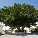 大きなガジュマルの木