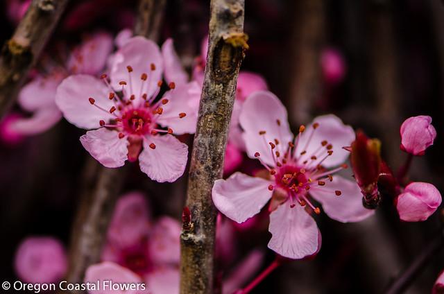 prunus flowering branches