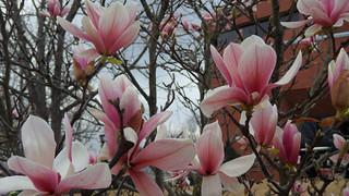magnolia flower 6