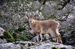 animal, nature, mammal, fauna, mountain goat, wildlife,