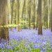 More Micheldever Bluebells by Dave Kiddle