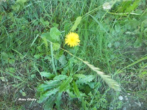 fiore tarassaco