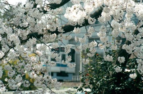 桜(目隠し)