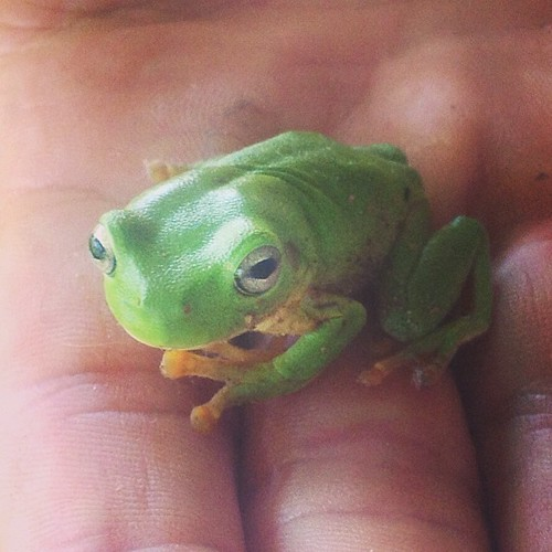 Green tree frog who joined me in the shower by hopping on my shoulder!!