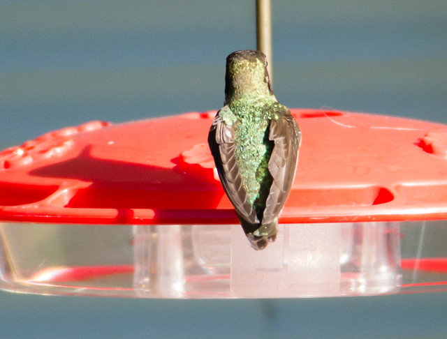 hummingbird_20140509_103