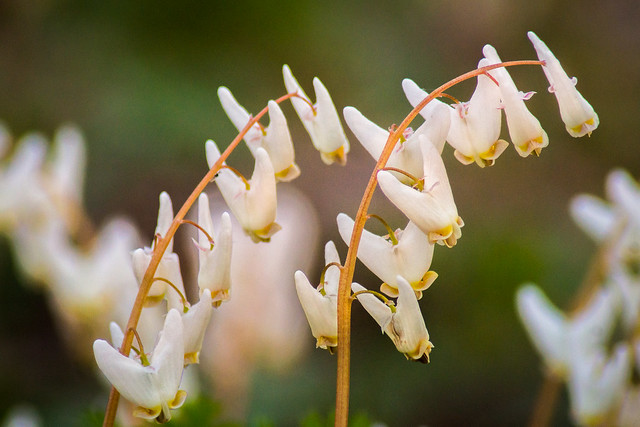 Dutchman's Breeches, Dutchmans Breeches, Wildflower, Pantaloons