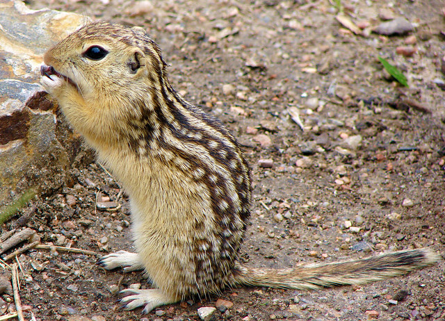 Denver 2009 - Thirteen-Lined Ground Squirrel 01