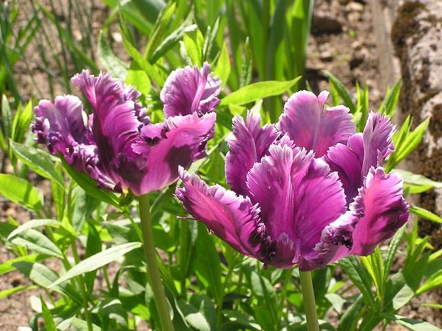 Tulipa 'Mysterious Parrot'