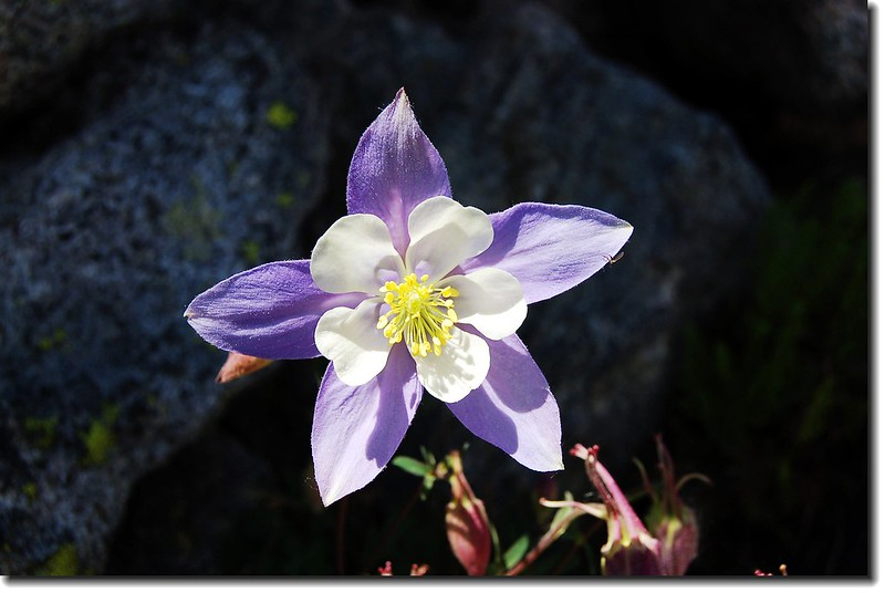 Blue Columbine(Lake Helene trail) 2