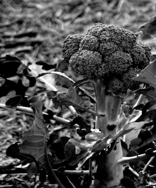 IMG 9340  Broccoli