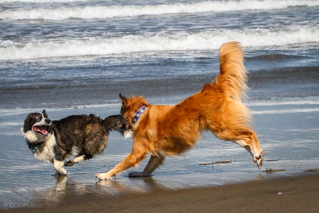 Tig the English Shepherd plays with a corgi dog.