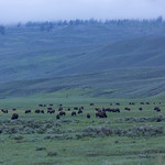 Bison below the fog, Lamar Valley