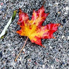 Cold and beautiful. #canadaweather #canada #photography #thesimplethings #beautyinnature #nature #autumnleaves #autumn:maple_leaf: