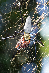 golden orb weaver Nephilia sp. with wrapped prey