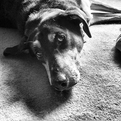 Tut chilling #coonhoundmix #rescue #dogstagram #adoptdontshop #love